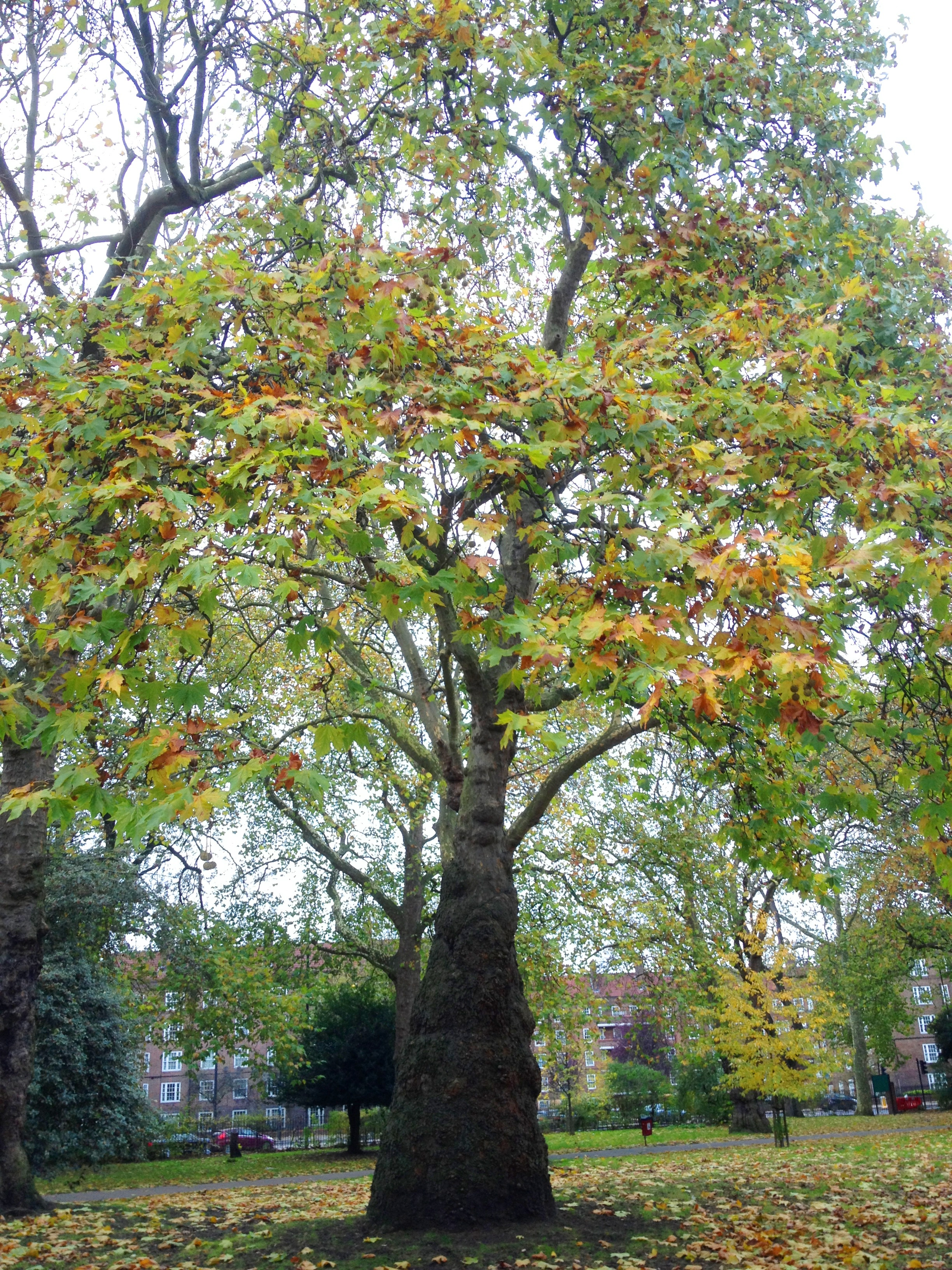 Kennington Park triangular tree - kenningtonrunoff.com
