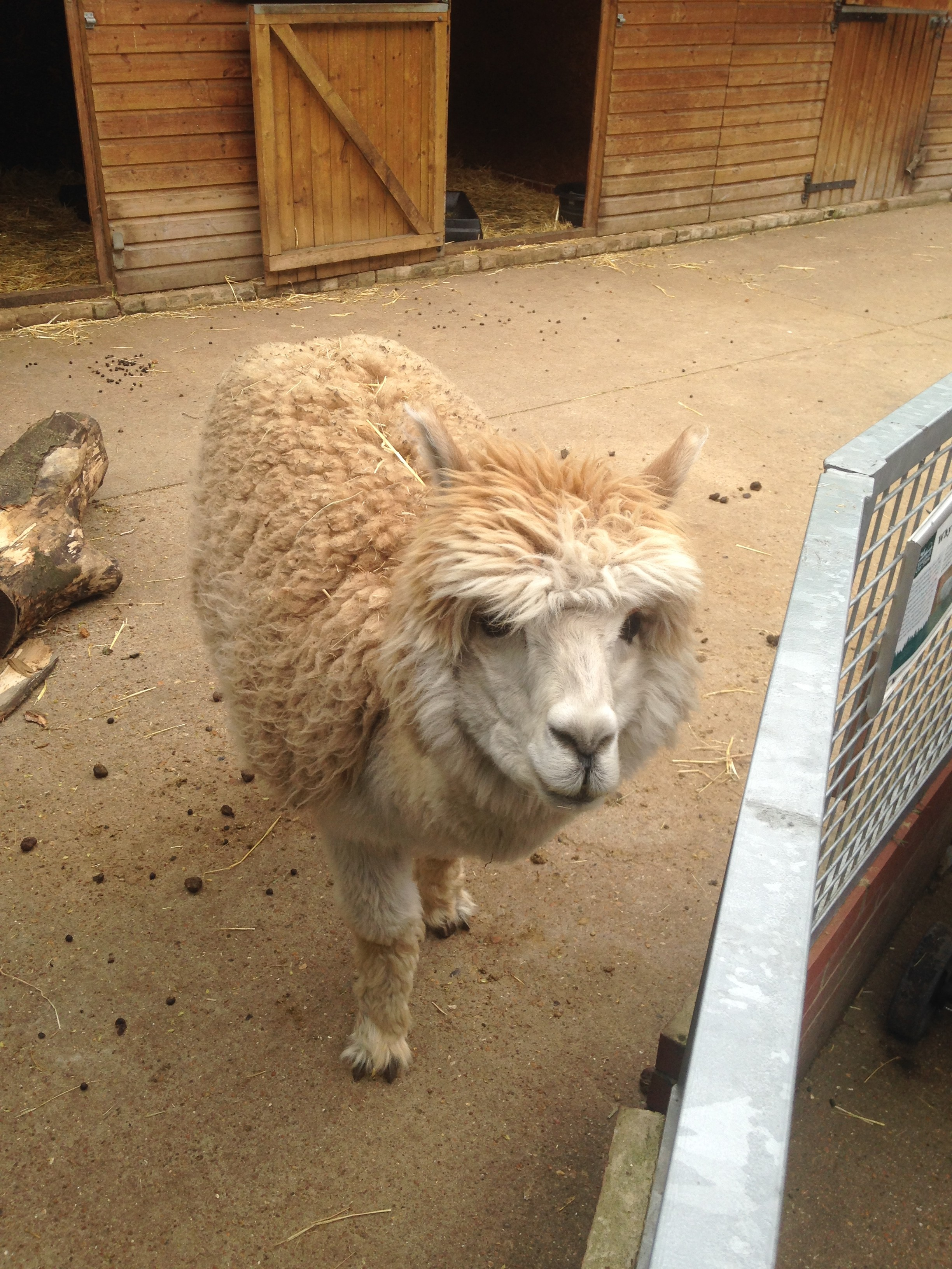 Lllama at Vauxhall City Farm